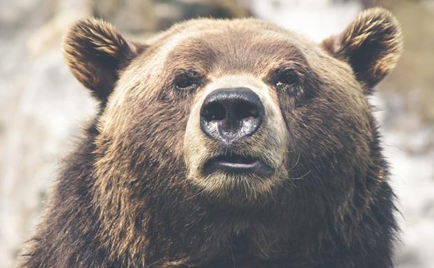 Un ours, le museau au vent