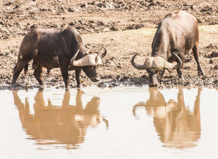 Des buffles s'abreuvant au Kruger National Park