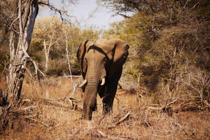 Elephant au Kruger national park