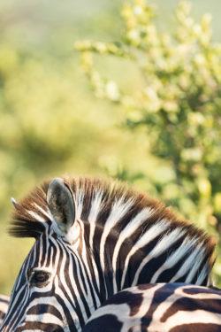 Un zèbre au coeur du Kruger National Park